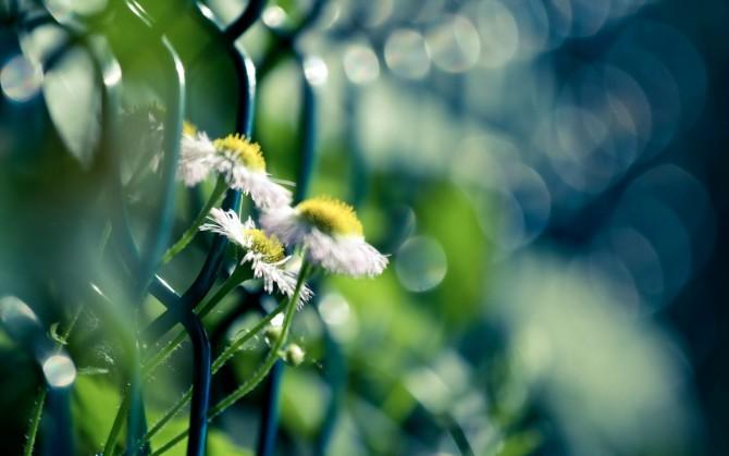 小雏菊花绿色风景桌面壁纸
