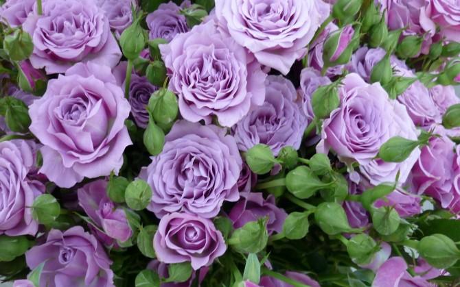 紫玫瑰花高清风景桌面壁纸