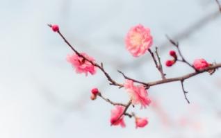 桃花一朵朵高清风景桌面壁纸