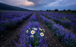 紫色薰衣草花海壁纸桌面下载